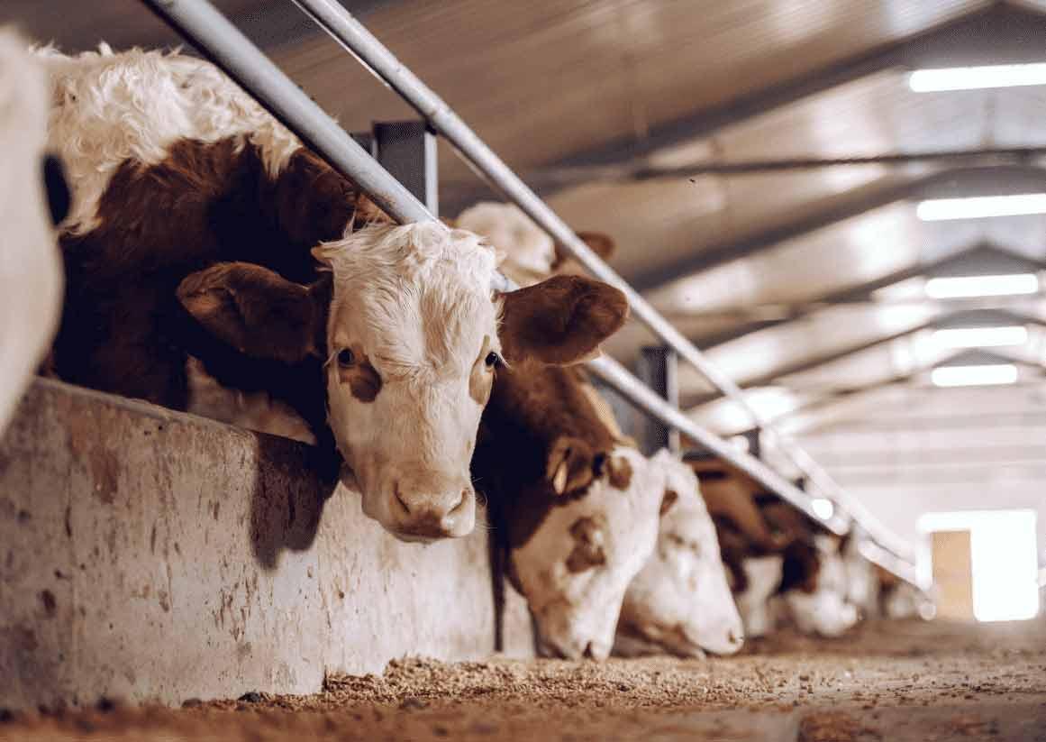 Tin được không? Đèn LED có tác dụng thúc đẩy quá trình sản xuất sữa bò!!!